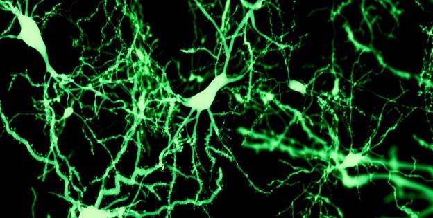 Erişkin Nörogenezi