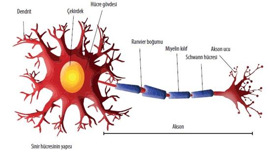 Sinir hücresinin yapısı - Nöroplastisite